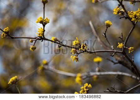 Cornelian cherry dogwood tree with yellow flowers close-up and beautiful blurred background