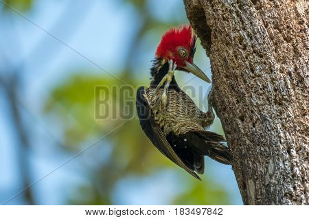 Pale billed woodpecker (Campephilus guatemalensis) scratching its neck. Costa Rica