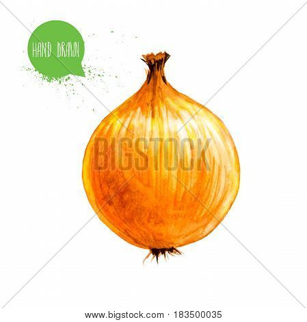 Hand drawn and painted watercolor onion bulb. Isolated on white background. Vegetable illustration.