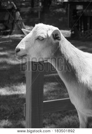 Side view of a Black and white Norwegian bred goat standing by a fence, rural country setting