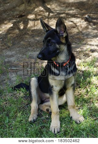 Sitting Black and Brindle German Sheppard puppy looking to he left with tree shadows in background and green grass in foreground