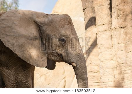 African elephant head with square angular shape, With cut elf's tusks
