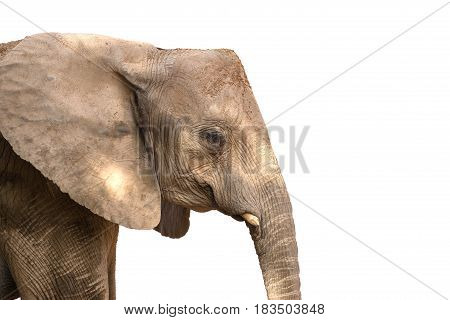 African elephant head with square angular shape, With cut elf's tusks. Isolated on white background