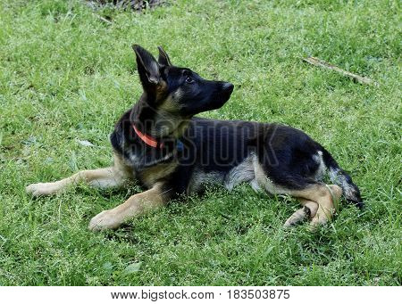 Black and brindle German Sheppard puppy dog laying in green grass, looking over back with red collar