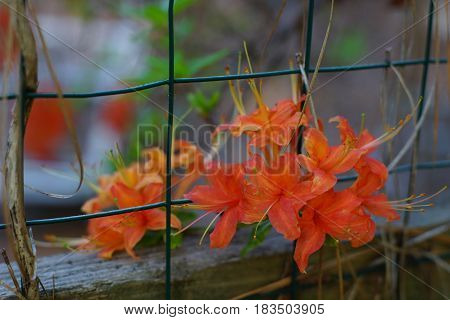 Wild flame orange azalea growing through a wire fence in full bloom with weathered wood