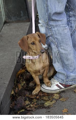 A small female Dachshund with pink lead and collar sitting on the ground in autumn leaves with one paw on the owners sneakers.