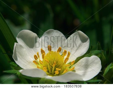 White Strawberry Fresh Flower With Water Drop In Morning