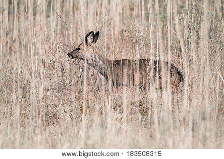 Roe Deer Buck Walking In Reed Looking For Food.