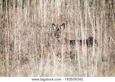 Eating Roe Deer Buck With Bark Antlers Standing Between Reed.