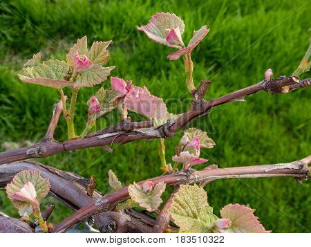 a lot of grape vine blossoms a good start