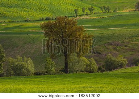 Umbria spring landscape with isolated oak tree