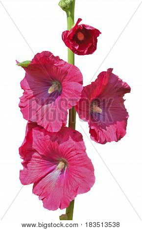 A close up of the flowers of mallow. Isolated on white.