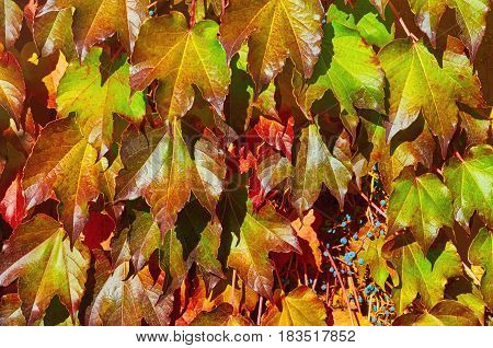 Virginia Creeper in the Autumn Abstract Background