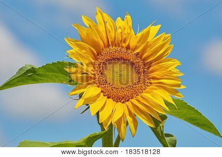 Blooming Yellow Sunflower over the Blue Sky