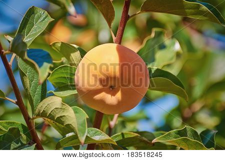 Persimmon on the Branch of a Tree