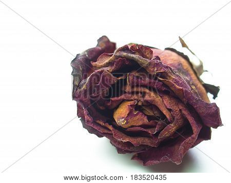 Close up dried rose flower head blossom petal. (with free space for text)
