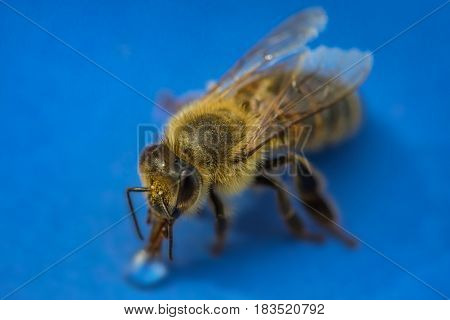 Macro Image Of A Bee On A Blue Surface Drinking A Honey Drop From A Hive