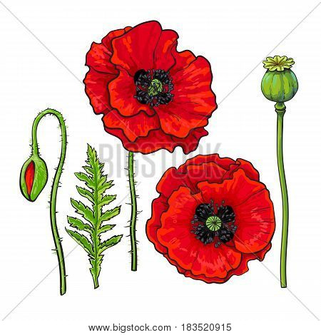Hand drawn set of side and top view red poppy flower, bud, pod, leaf, sketch vector illustration isolated on white background. Realistic hand drawing of red poppy, spring, summer decoration element
