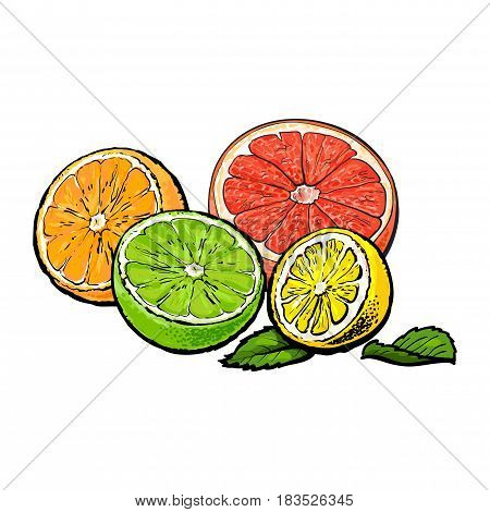 Halves of orange, grapefruit, lime and lemon, hand drawn sketch style vector illustration on white background. Hand drawing of unpeeled orange, grapefruit, lemon and lime cut in half