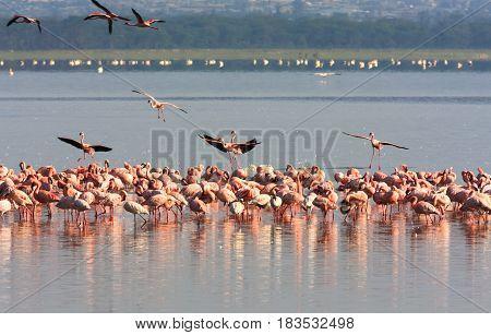 Flock of flamingos from Nakuru. Kenya, Africa