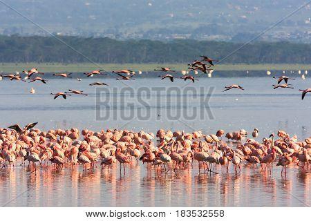 Pink flamingos flock in Nakuru lake. Kenya, Africa