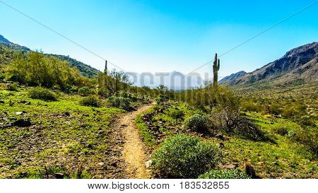 Desert landscape with Saguaro Cacti along the Bajada Hiking Trail in the mountains of South Mountain Park in Maricopa County near the city of Phoenix, Arizona, USA