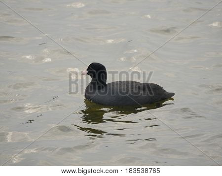 bird coot on water bakground fulica atra