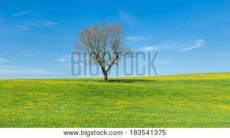 Solitary tree standing alone on a green grass field with yellow Dandelion flowers in springtime. Blue sky with white clouds in a rural countryside. Natural eco background for environment or season concept with copy space.
