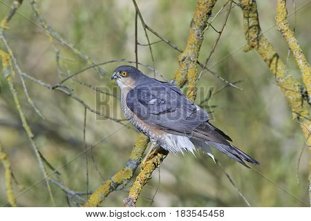 Eurasian sparrowhawk sitting on a branch with vegetation in the background