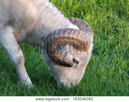 Big horned sheep grazing in a field
