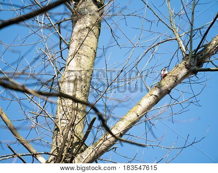Great Spotted Woodpecker or Dendrocopos major on a tree