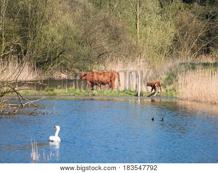 Scottish highland cow and calf crossing river