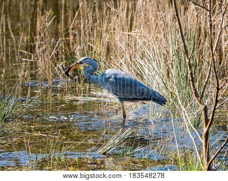 Grey Heron with a frog in his beak