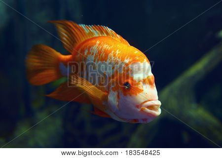 A colorful fish in an aquarium in dark blue water. At the bottom of the aquarium a beautiful fish floats, wag the fins. Multicolored, orange fish. Undersea world