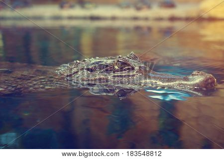 The crocodile floats on the surface of the water. Head of crocodile in dark water. The crocodile looks at the victim.