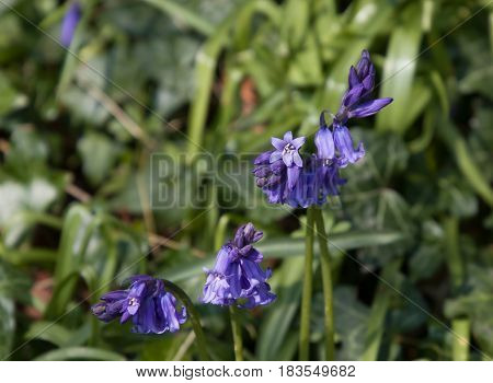 Native English Bluebells in woodland in countryside