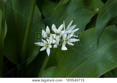 White flowers and foliage of Ramsons or Wild Garlic growing in English countryside