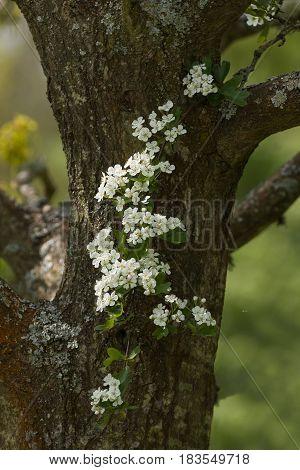 Spring flowering Hawthorn Blossom against tree trunk.