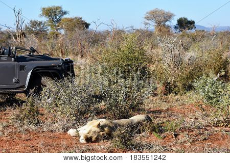 Picture of a lion in Madikwe game reserve, South Africa.