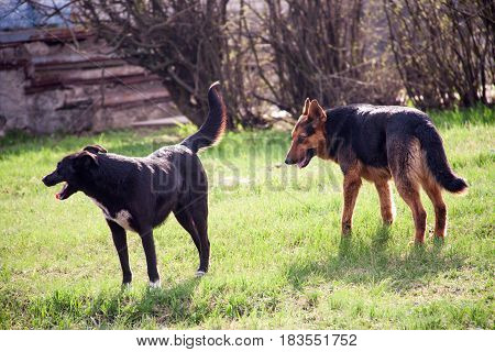 Two homeless dogs walking on the grass.