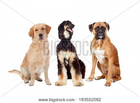 Three differents big dogs sitting isolated on a white background