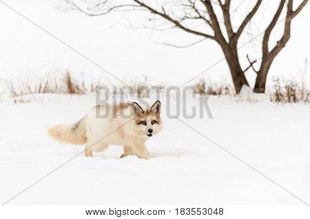 Red Marble Fox (Vulpes vulpes) Walks Right Through Snow - captive animal