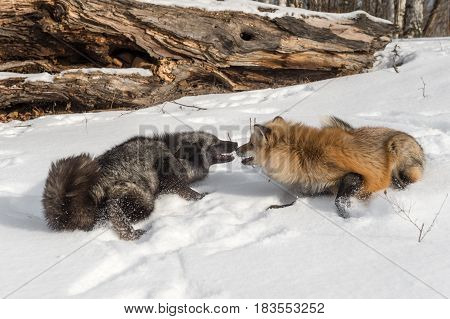 Silver and Amber Phase Red Fox (Vulpes vulpes) Nose to Nose - captive animals