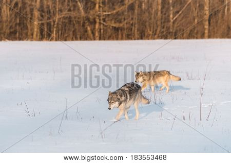 Two Grey Wolves (Canis lupus) Move Left in Snowy Field - captive animals