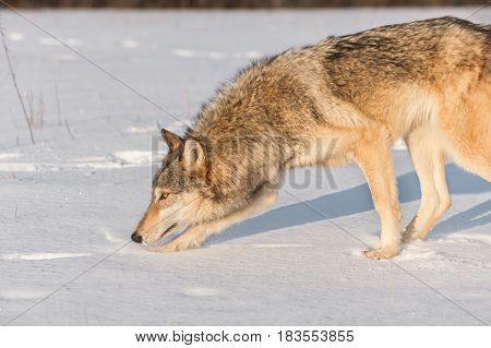 Grey Wolf (Canis lupus) Sniffs to Left in Snow - captive animal