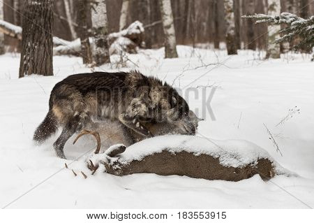 Black Phase Grey Wolf (Canis lupus) Shoulders Other Aside At Deer Carcass - captive animals