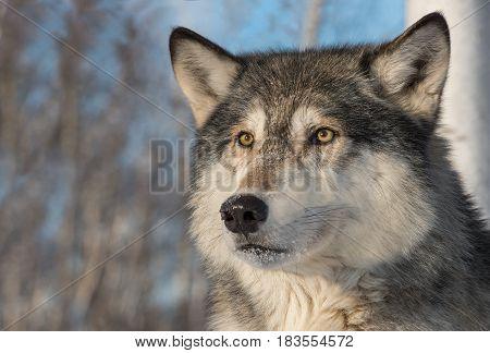 Grey Wolf (Canis lupus) Face Ears Forward - captive animal
