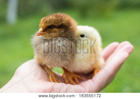 Two new born brown chicks on hands chicken farm owner. Two little newly hatched brown Image of adorable hatched chick.