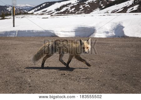 Wild fox runs across a dirt road in a snowy winter landscape. Stanley Idaho USA.