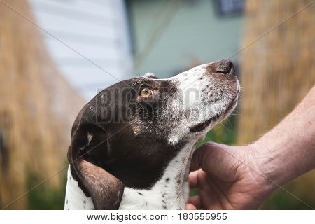 Petting German Shorthaired Pointer Dog